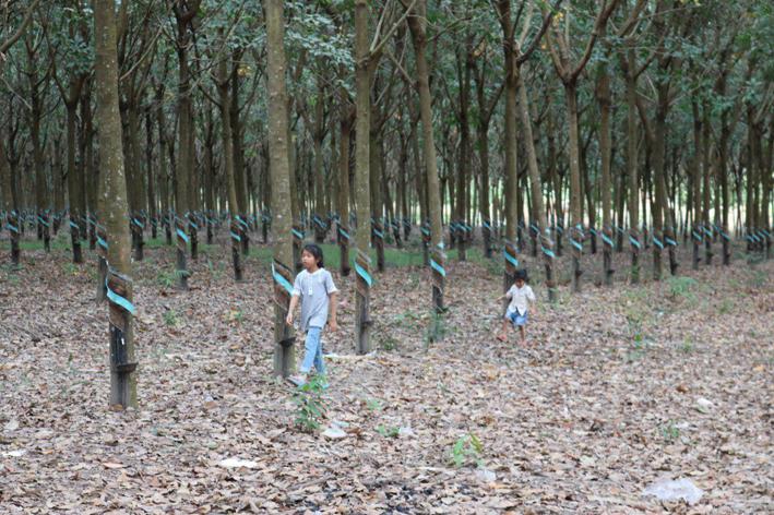 柬埔寨首季度橡胶出口量近5万吨