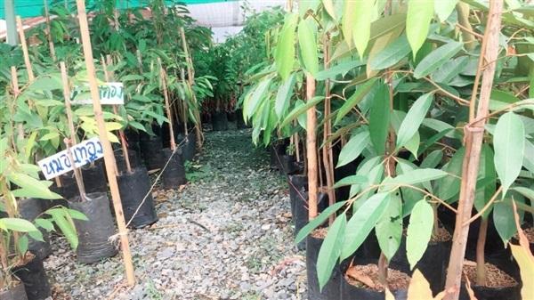 中国市场推动榴莲价格持续升高 泰国缅甸柬埔寨争相扩种