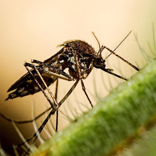 """马来西亚成为全球第二个""""以蚊治蚊""""抵抗登革热的国家"""