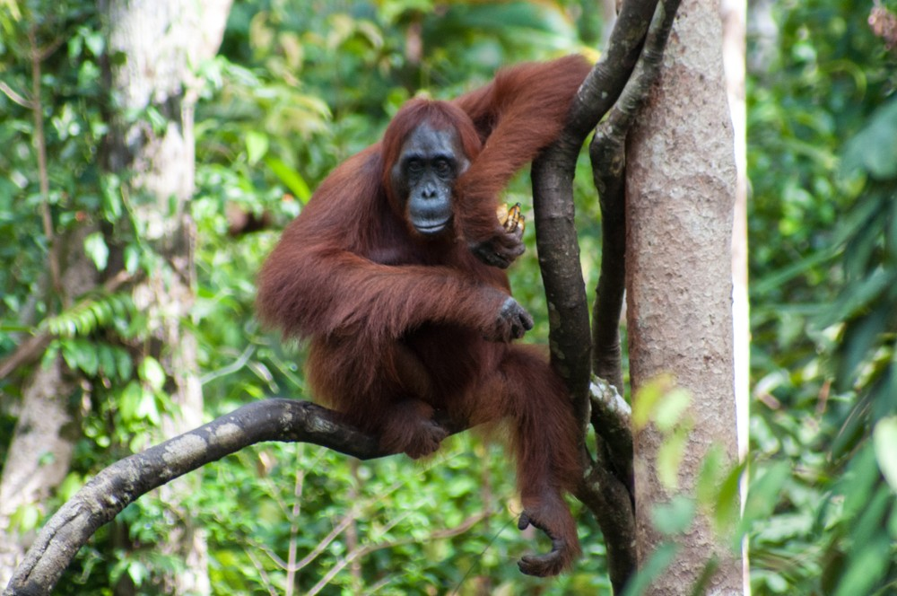 Orangutan numbers drop as much as 30% in Malaysian palm oil estate forests: WWF