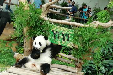 """旅马中国大熊猫第二只幼崽命名为""""谊谊""""  代表中马友谊长青"""