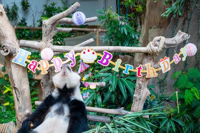 """马来西亚为在马出生的大熊猫""""谊谊""""庆生"""